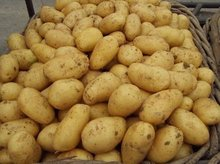 yellow holland potato