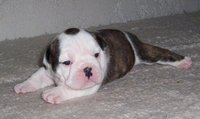Quality English Bulldogs Puppies