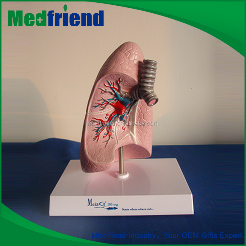MFM024 Wholesale In China Human Lungs Model