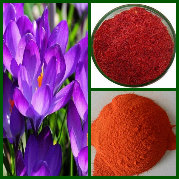 ISO Factory supply competitive price of saffron/saffron extract/Crocetin