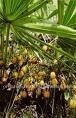 SAW PALMETTO Extract fatty acids