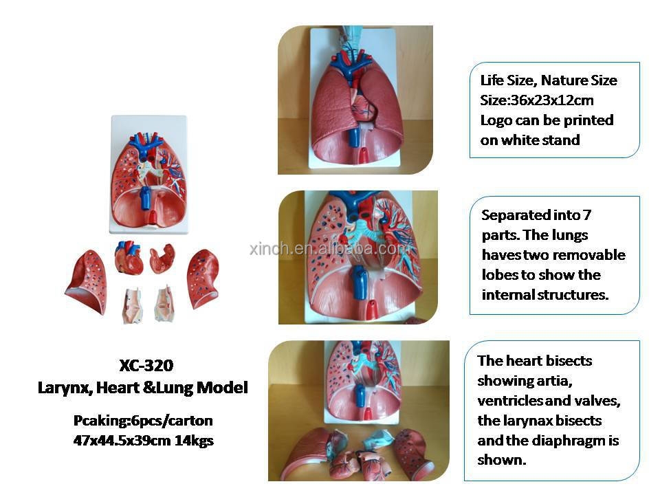 Larynx, Heart and Lung human organs model