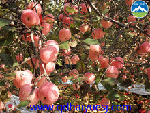 Shandong Yiyuan hometown red Apple Fuji Apple
