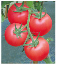 Hybrid F1 Indeterminate growth Cold Resistance Good Firmness Pink Heirloom Tomatoes Seeds For Growing- New Noble