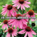 Natural Echinacea purpurea extract