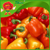 /product-detail/color-peppers-market-price-sweet-round-pepper-fresh-cherry-peppers-jalapeno-peppers-fresh-60465660722.html