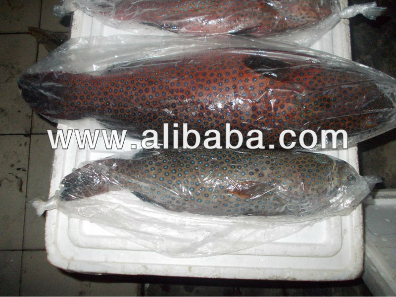 red brown coral trout