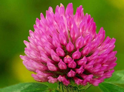 Red Clover flower (Trifolium Pratense) extract powder 40% Isoflavones
