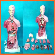 R030112 28 Cm Small Human Torso Model with 15 Parts of Human Anatomical Model