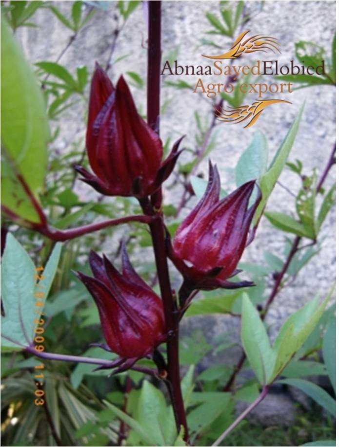 Elnasr Industrial Trading Co Limited Hibiscus Sudan
