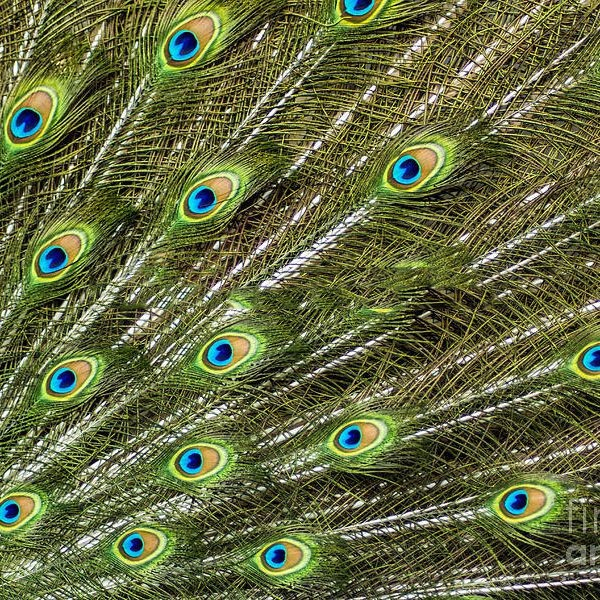 Factory Wholesale Peacock Tail Atificial Indian Peacock Feathers