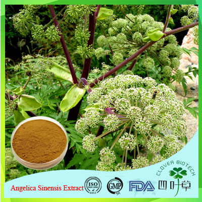 Dried raw herbs/Angelica sinensis/female ginseng extract