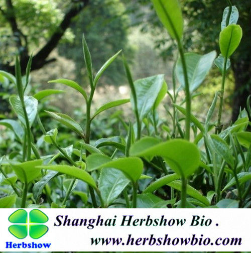 Camellia sinensis seeds for sale(tea plant)