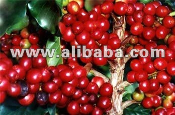 Coffee beans plantations