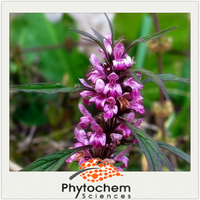 chinese organic herb product Motherwort Extract powder 4:1/ 8:1/ 10:1