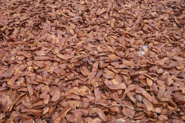 Original Product Mahogany Seeds- Indonesian Sky Fruit-Xiang Tian Guo