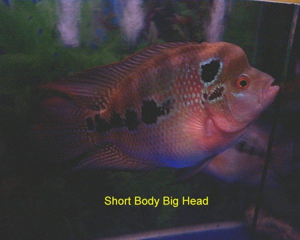 High Quality Flower Horn Fish