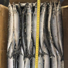 New Catching Wholesale Frozen 1# 2# Saury Fish