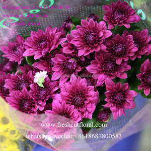 60 To 80 Stem Malaysian Mums Flower For Party Decoration From Yunnan