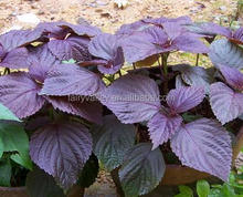 High Quality Purple Perilla Seeds For Growing