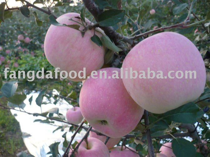 sweet shanxi fuji apples/low price