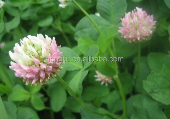 Red Clover Extract Powder/Red Clover P.E./Trifolium pretense L.