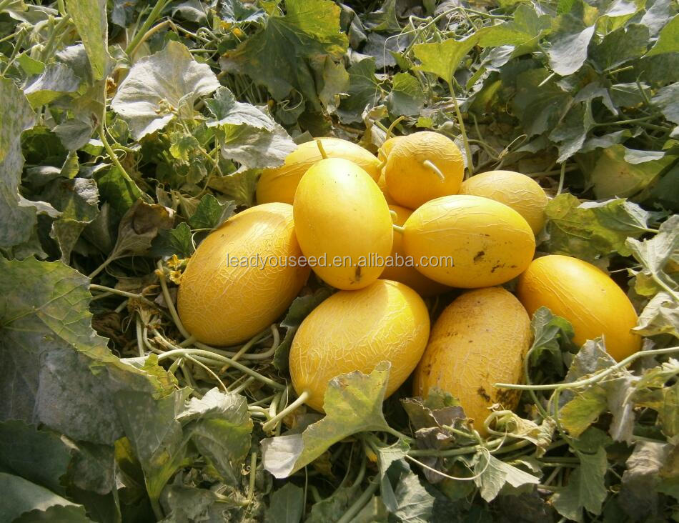 SM04 Ruihong good quality high output hami melon seeds, fruit seeds for sale