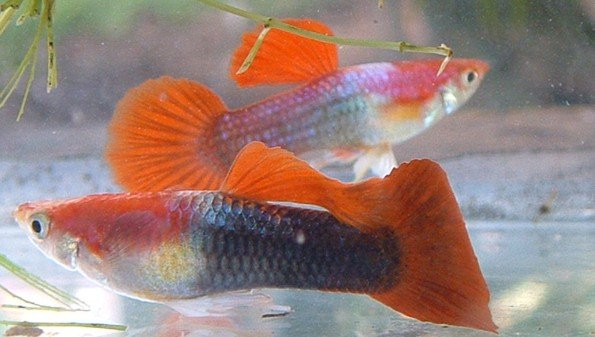 Red Tuxido (Guppy)