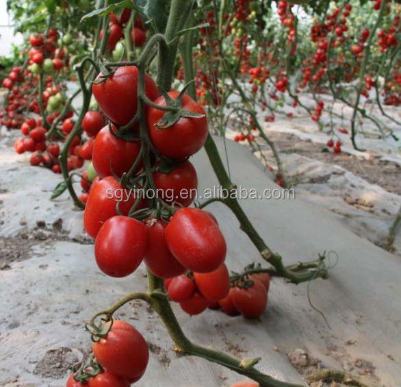 Roman f1 hybrid tomato seeds red mature greenhouse vegetable seeds from china