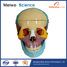 Human Skull Bone Separation Anatomical Medical Model