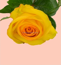 Factory price flowers for weddings the yellow crown roses from KUNMING with global after sale service