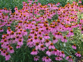 Manufacturer Supplied Echinacea Purpurea Extract 4% Polyphenols Natural Echinacea Powder Extract