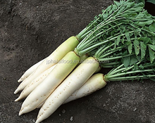 New listing daikon radish Fresh White turnip
