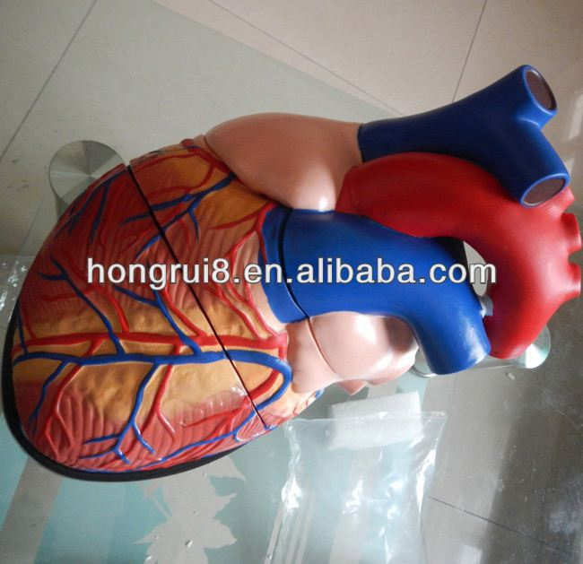 New Style Human enlarged heart model,internal organs heart model