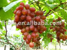 Grape Seed Plant Herb Extract