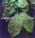 siberian ginseng extracts
