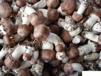 High Quality 100% Natural Agaricus blazei Extract/Agaricus blazei Extract