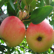 Chinese super quality healthy factory fruit market prices gala buy apples wholesale