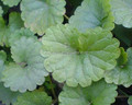 Centella asiatica Extract 80% Total triterpenes
