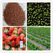 High quality strawberry seeds for exportation