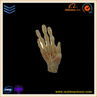 medical teaching model superficial arteries of hand silicone for plastination