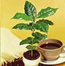 Robusta Coffee Bean Tree 10 Seeds / Seed-Coffea Canephora