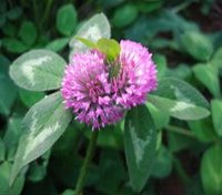 direct supply high quality Stem,leaf and flower of Trifolium pratense L.(P)