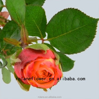 Wholesale High Quality Cut Flowers Fresh Cut Roses From Yunnan, China