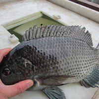FROZEN TILAPIA WHOLE ROUND 500-800G FRESH FISH