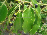 pure and natural essential oil brown camphor oil