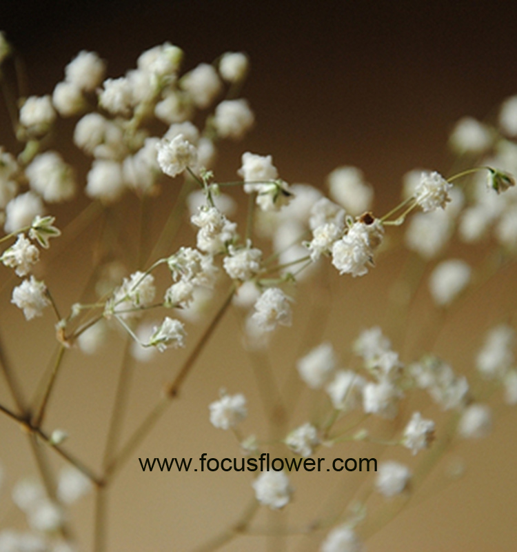 Aibaba Com Preserved Flower From Kunming Flower Exporter Gypsophila Flowers
