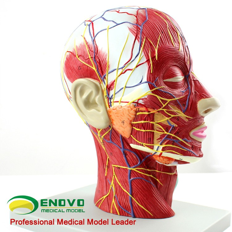 12402 Half Of Head Section Model With Vesselsfull Life Sizeanatomy