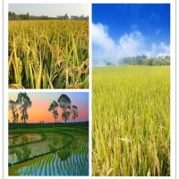 Rice Straw Pulp Or Dietary Fiber
