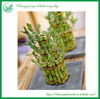 indoor plants 3 layer tower shape lucky bamboo dracaena sanderiana